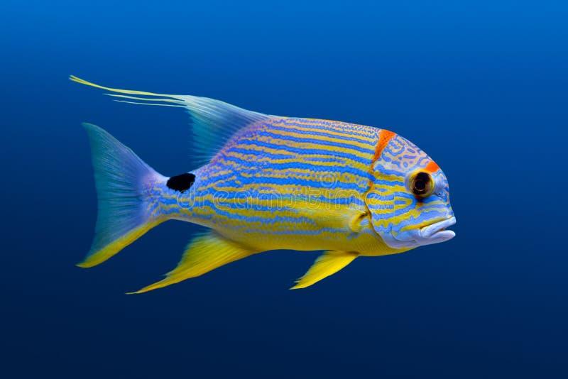 Caranga de Sailfin imagens de stock royalty free