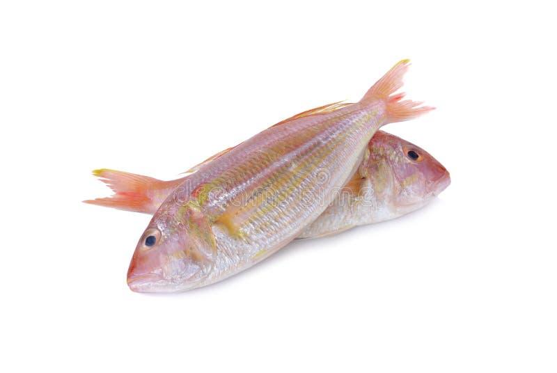 Caranga de Sharptooth, brema japonesa do threadfin no branco imagem de stock