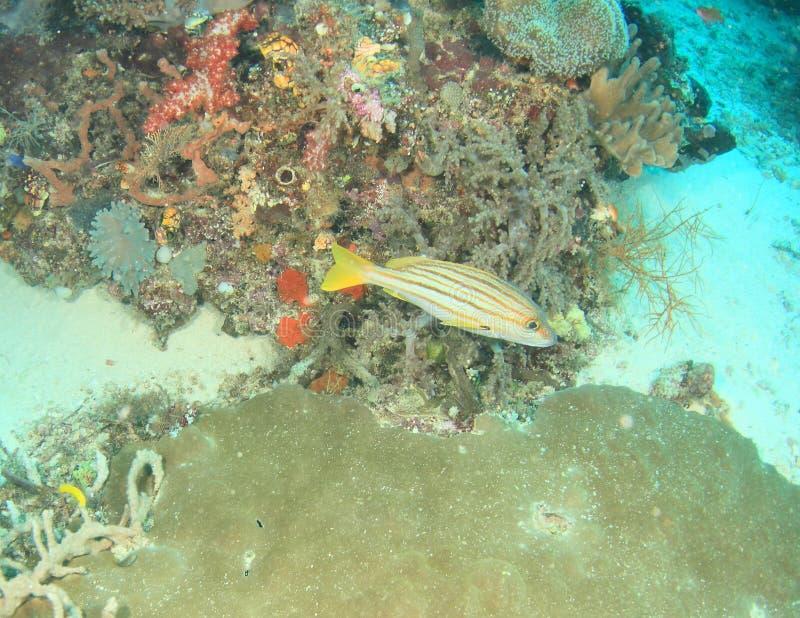Download Caranga Espanhola Da Bandeira Foto de Stock - Imagem de subaquático, natação: 65577740