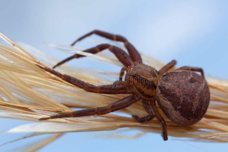 caranguejo-aranha Dobro-unida, bifasciatus de Xysticus na palha imagem de stock