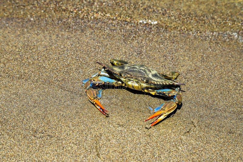 Caranguejo azul com as grandes garras que flutuam na água imagens de stock