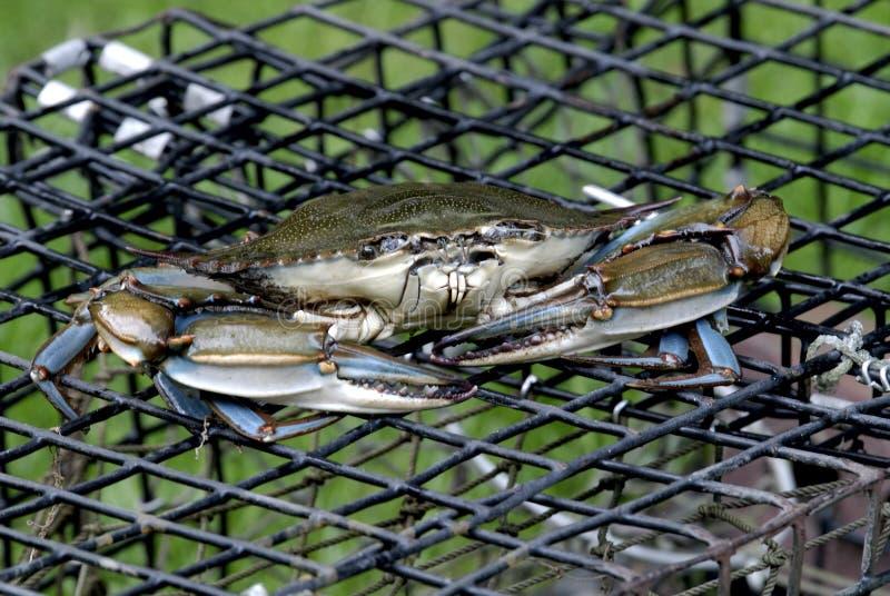 Caranguejo azul no potenciômetro de lagosta foto de stock