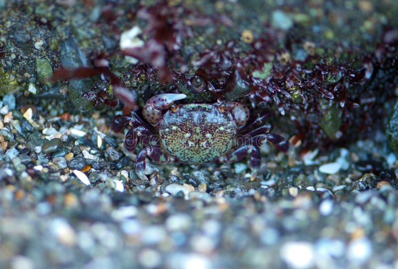 Caranguejo camuflado do eremita fotos de stock