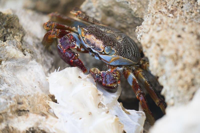 Caranguejo colorido do oceano em ilhas de Grand Cayman imagens de stock