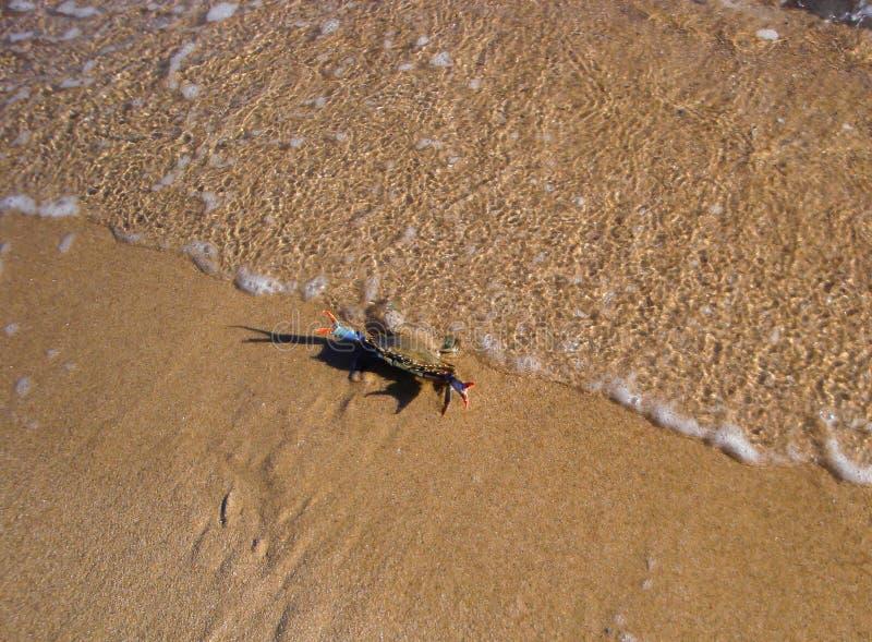 Caranguejo colorido na praia imagem de stock royalty free