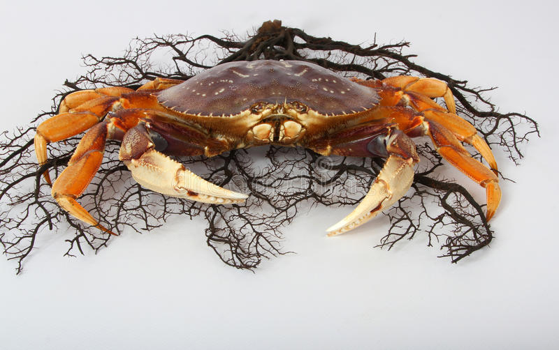Caranguejo com coral imagens de stock royalty free