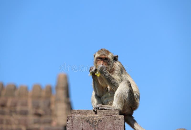 Caranguejo-comendo o macaco de Macaque que senta-se no polo do almofariz da cerca e de comer a água doce no plástico fotos de stock