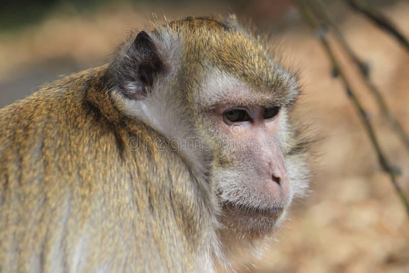 Caranguejo-comendo o Macaque foto de stock royalty free