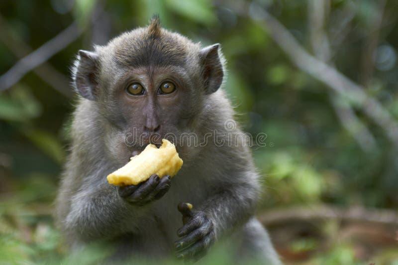 Caranguejo-comendo o macaque (fascicularis do Macaca) foto de stock