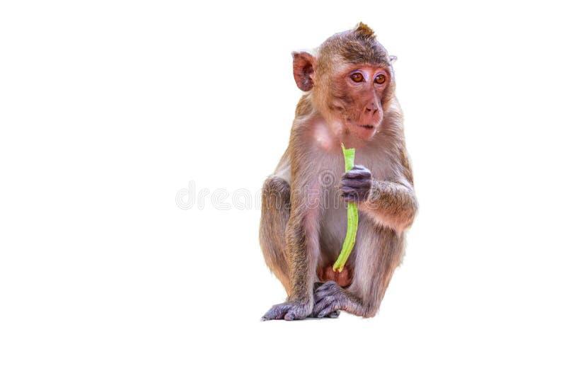 Caranguejo-comendo o Macaque imagens de stock royalty free