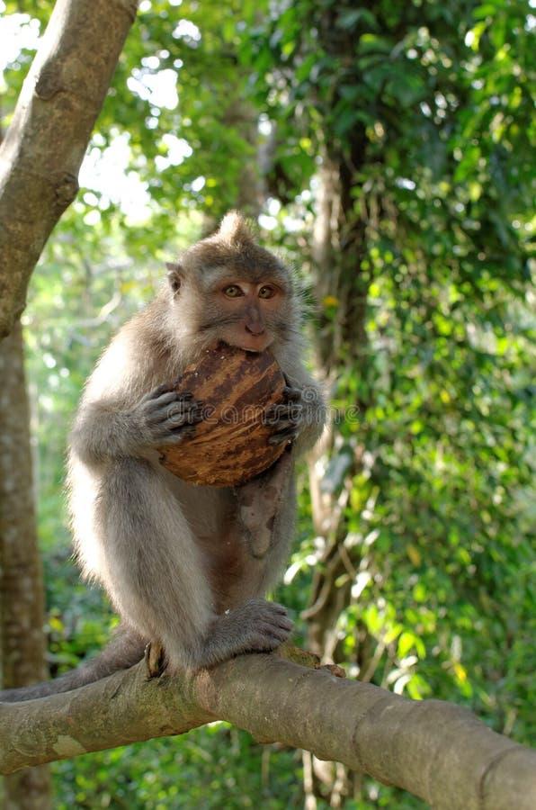 Caranguejo-comendo o macaque que come o coco fotografia de stock royalty free