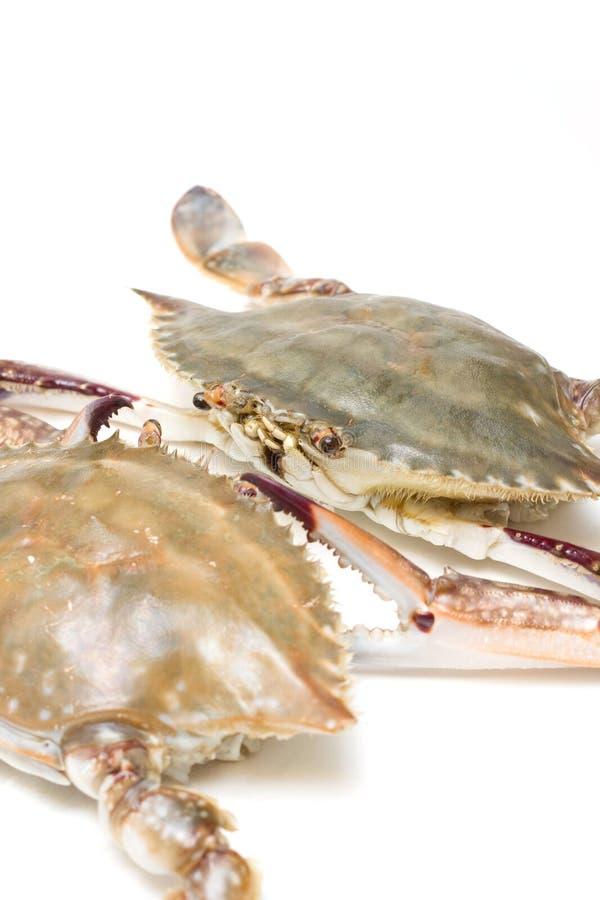 Caranguejo da Marisco-Natação fotos de stock