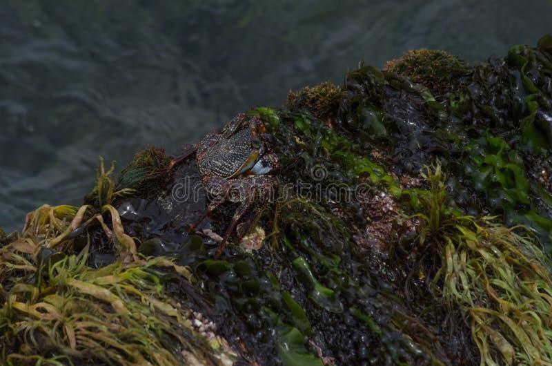 Caranguejo das caraíbas imagem de stock