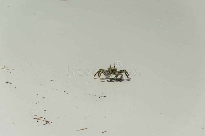 Caranguejo de Brown que anda em uma praia fotos de stock royalty free