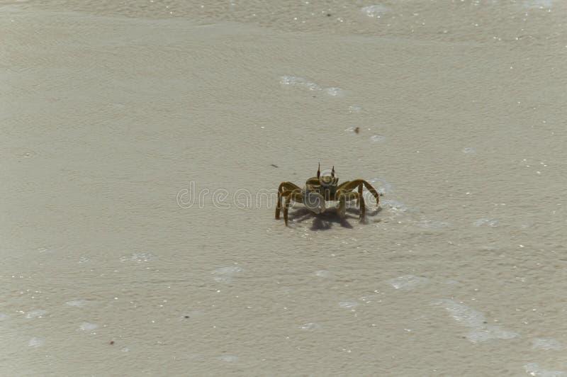 Caranguejo de Brown que anda em uma praia fotografia de stock