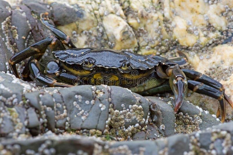 Caranguejo de costa verde (Carcinus Maenus) fotografia de stock royalty free