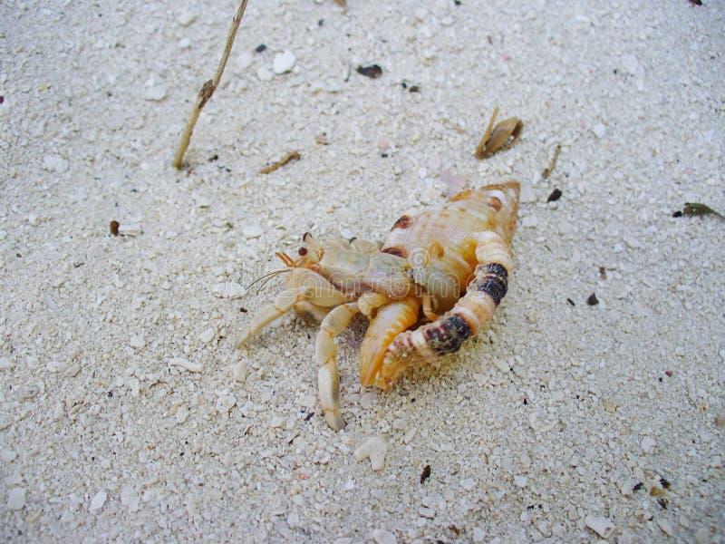 Caranguejo de eremita em um shell foto de stock