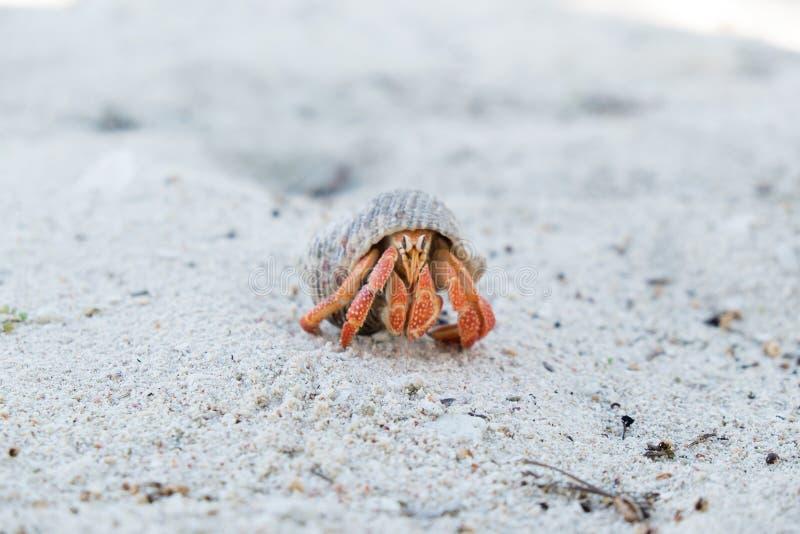 Caranguejo de eremita em um shell em uma praia branca da areia na ilha de Upolu, Sa fotografia de stock