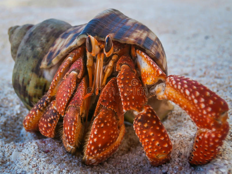 Caranguejo de eremita na praia em Havaí fotografia de stock