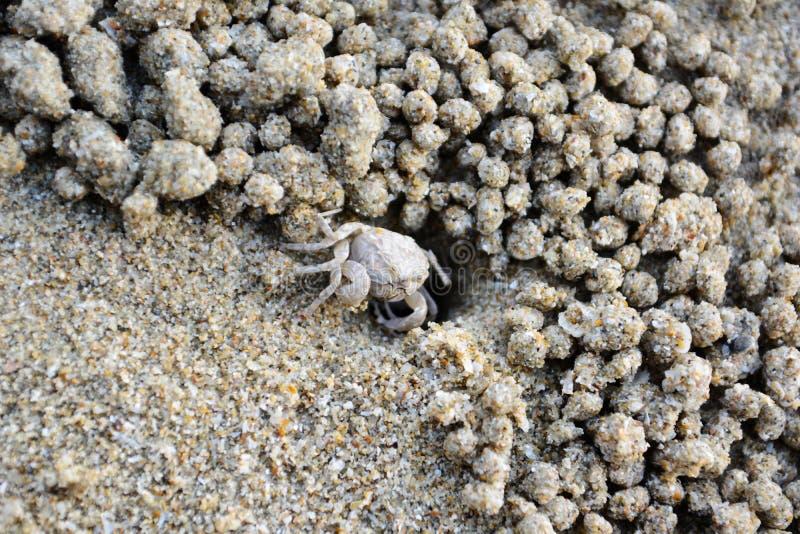Caranguejo de Ghost, caranguejo do bebedoiro automático da areia, no furo na areia da praia fotos de stock royalty free