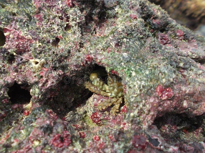 Caranguejo de rocha típico do caldera/venezuela do playa do tortuga do isla imagem de stock