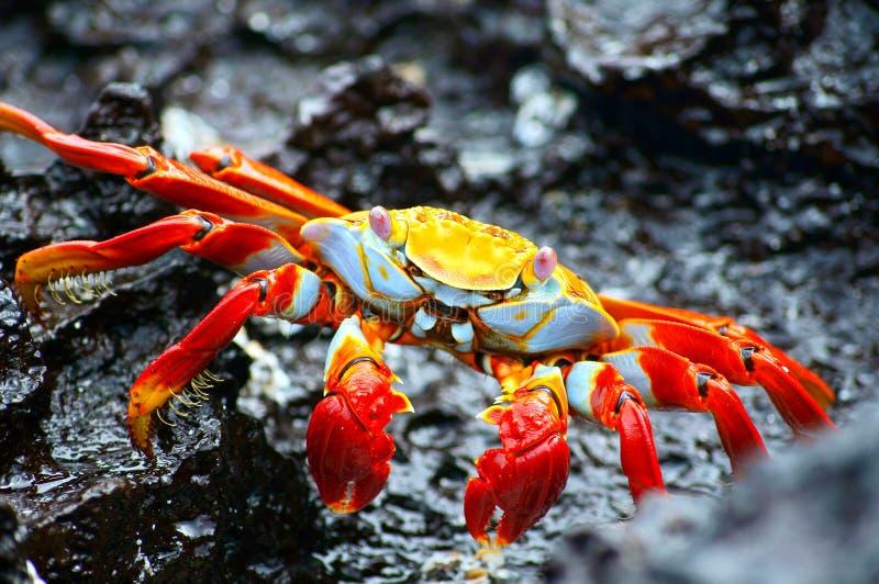 Caranguejo de rocha vermelho nos Galápagos fotografia de stock