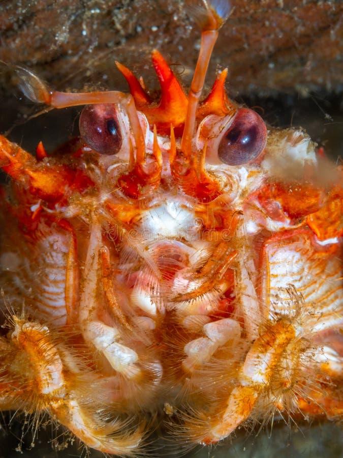 caranguejo-diabo Longo-agarrado, rugosa de Munida Loch Fyne Mergulho, Esc?cia foto de stock