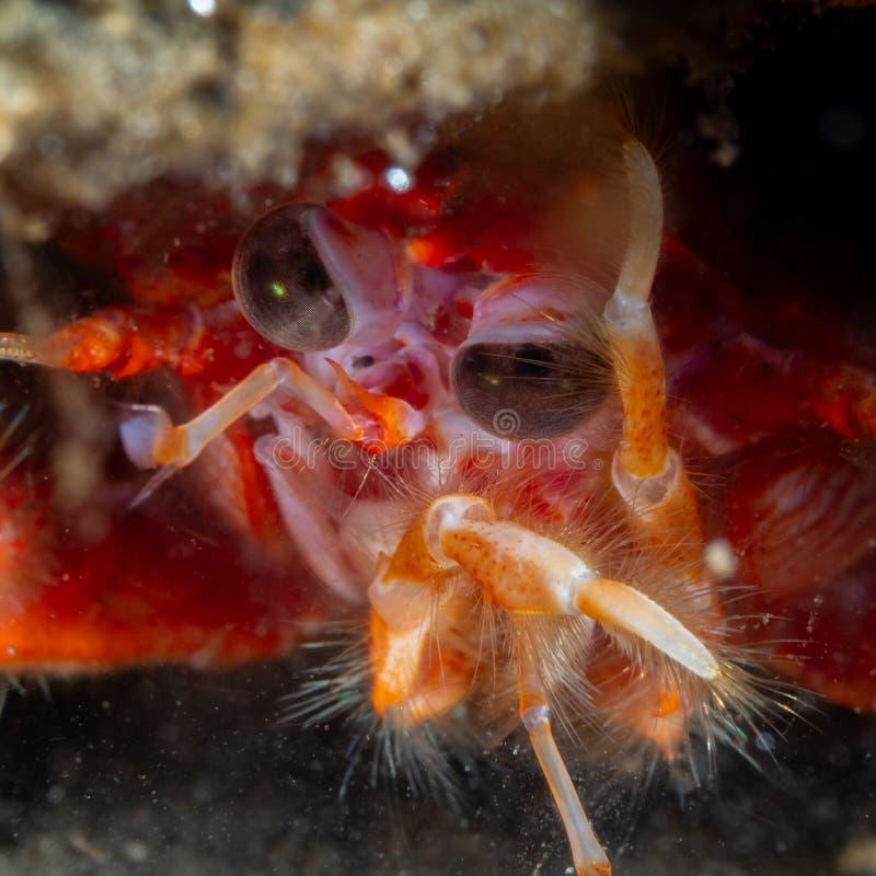 caranguejo-diabo Longo-agarrado, rugosa de Munida Loch Fyne Mergulho, Esc?cia fotos de stock royalty free