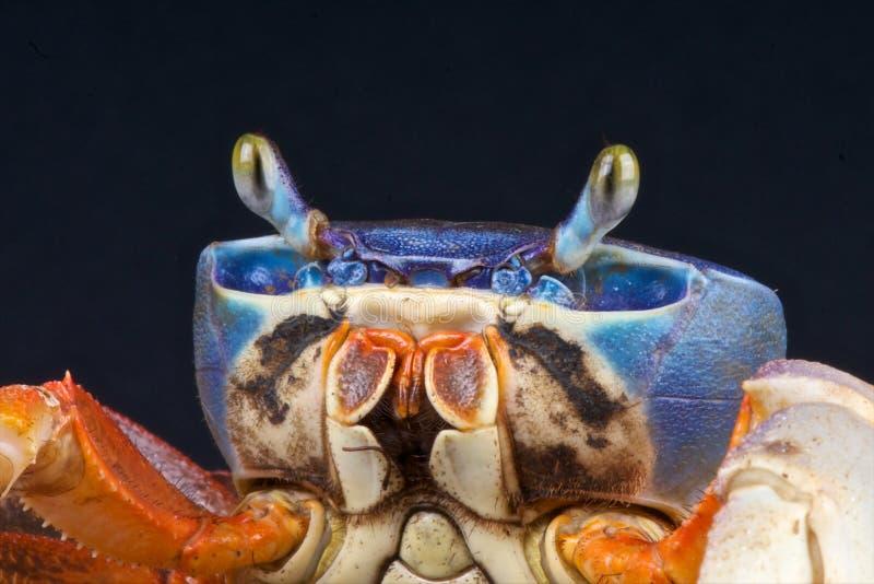 Caranguejo do arco-íris foto de stock