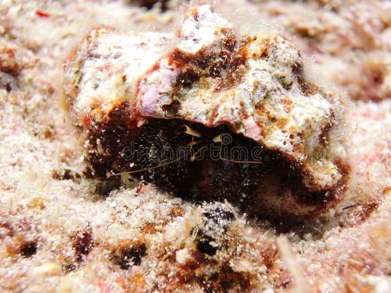 Caranguejo do eremita fotografia de stock