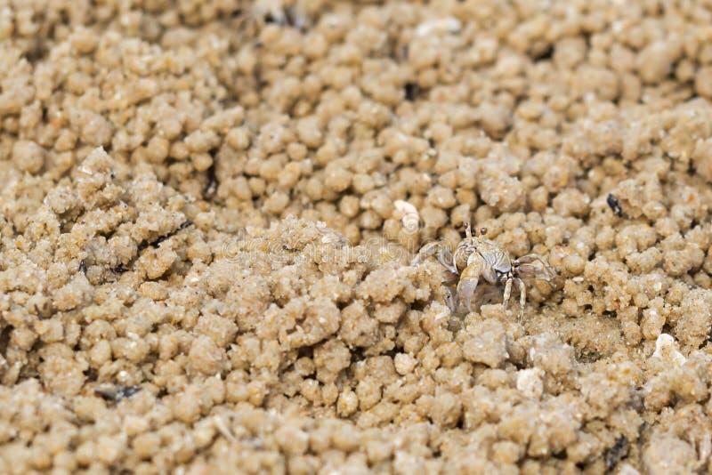 Caranguejo do fantasma do bebê na areia wildlife Fundo animal fotografia de stock royalty free