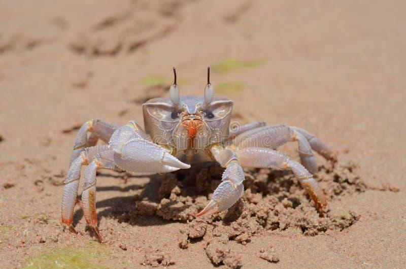 Caranguejo do fantasma (ryderi de Ocypode) na praia foto de stock royalty free
