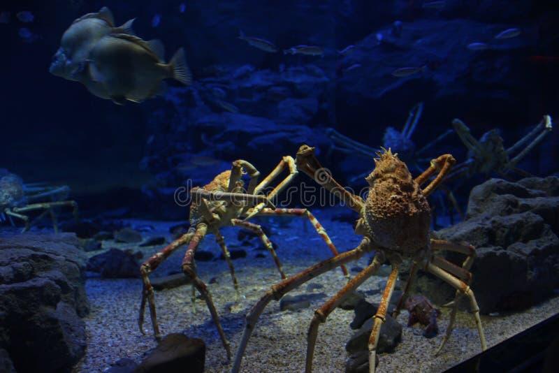Caranguejo do mar profundo fotografia de stock royalty free