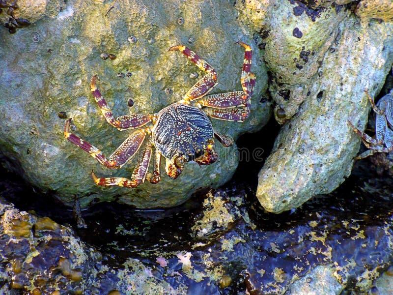 Caranguejo do mosquito, caranguejo nas pedras imagem de stock royalty free