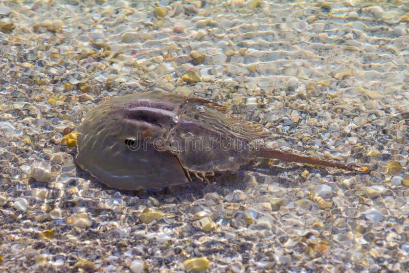 Caranguejo em ferradura na água pouco profunda foto de stock royalty free
