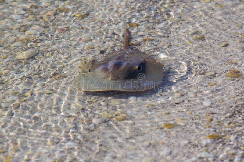 Caranguejo em ferradura na água pouco profunda fotografia de stock royalty free