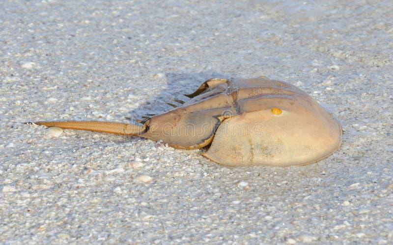 Caranguejo em ferradura na praia fotos de stock royalty free