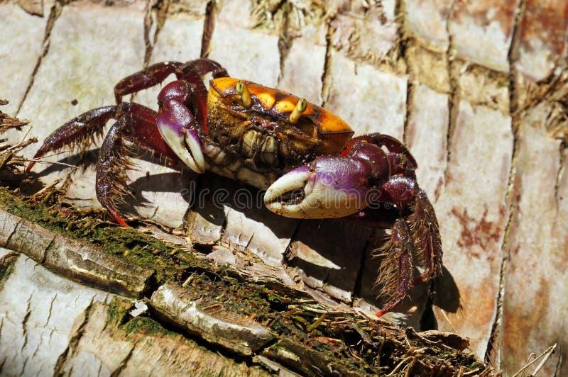 Caranguejo em um tronco de árvore do coco foto de stock royalty free