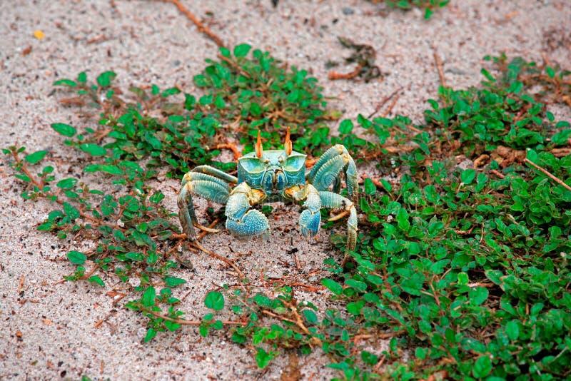 Caranguejo horned verde na praia, ilha do fantasma de Aride, Seychelles imagens de stock