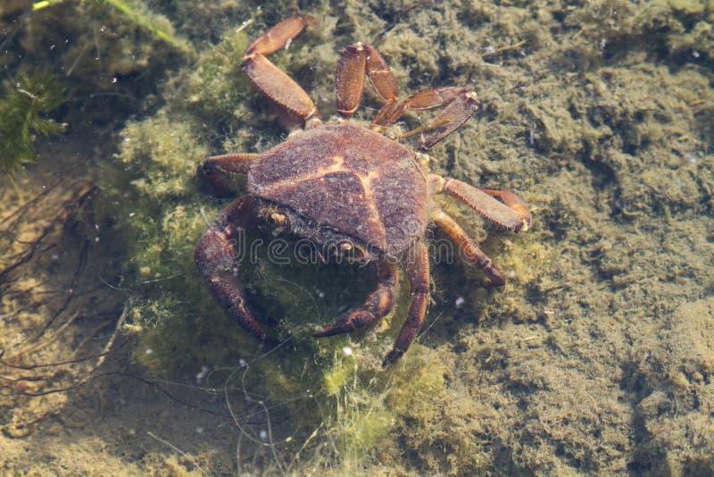 Caranguejo indiano em uma lagoa pequena imagens de stock royalty free