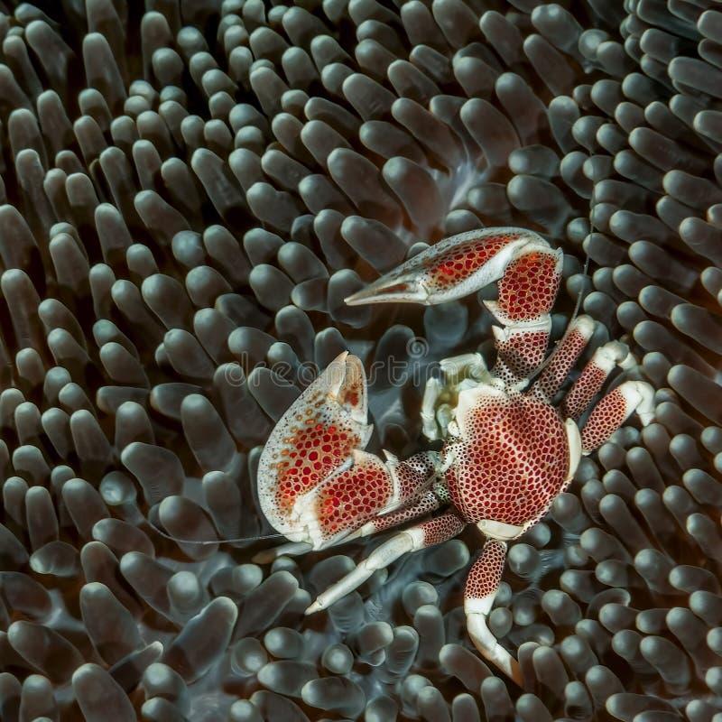 Caranguejo manchado da porcelana foto de stock