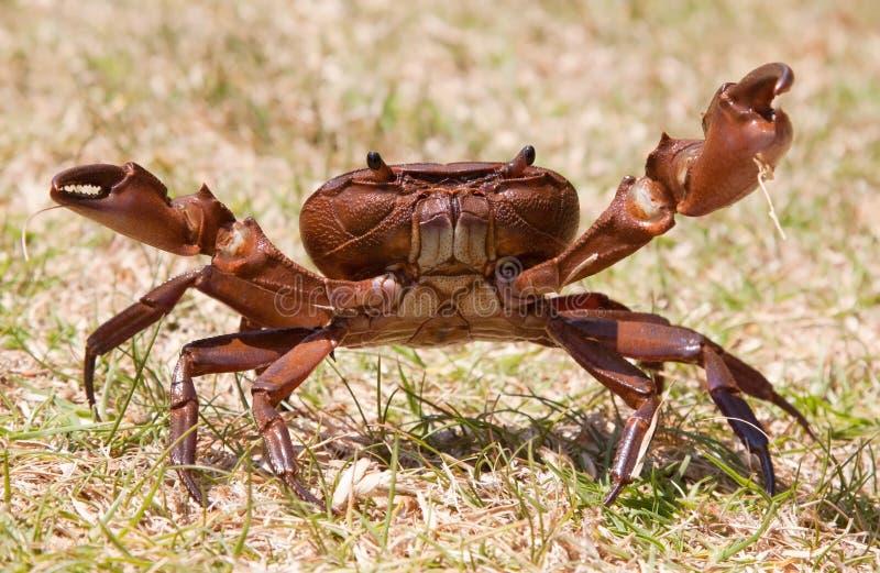 Caranguejo marrom agressivo na posição da grama fotografia de stock royalty free