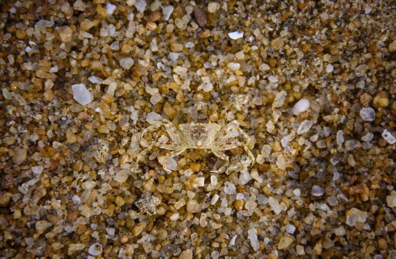 Caranguejo minúsculo da areia imagens de stock royalty free