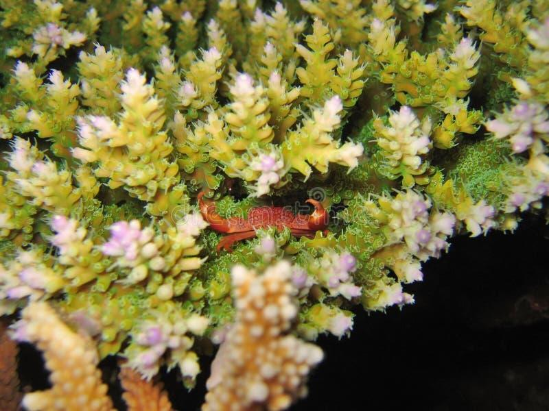 Caranguejo minúsculo do recife imagem de stock