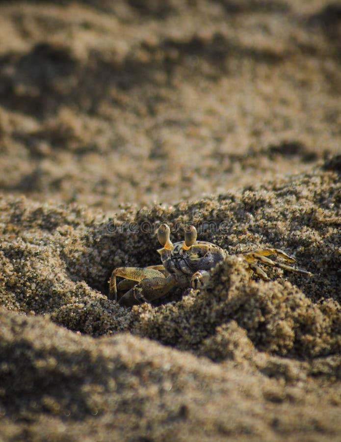 Caranguejo minúsculo que esconde na areia fotografia de stock royalty free
