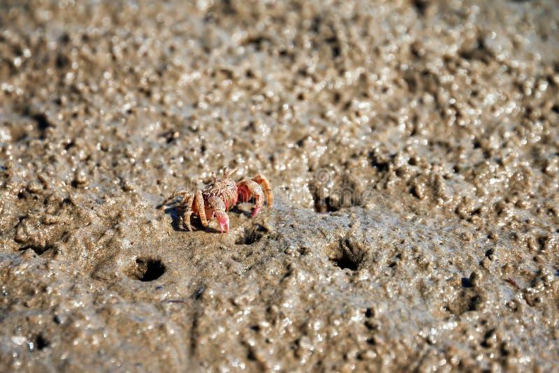 Caranguejo pequeno do bebedoiro automático da areia fotografia de stock