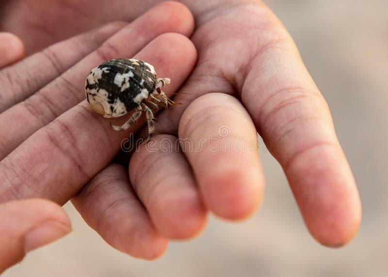 Caranguejo pequeno nas palmas das crianças fotografia de stock royalty free