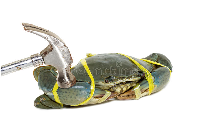 Caranguejo preto cru amarrado com amarelo da corda e martelado no backg branco foto de stock