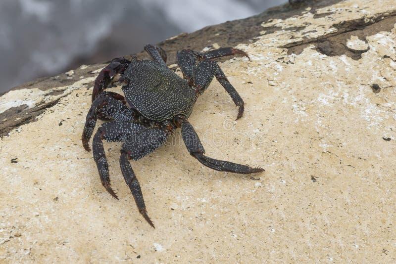 Caranguejo preto vivo no fim da natureza acima da foto foto de stock