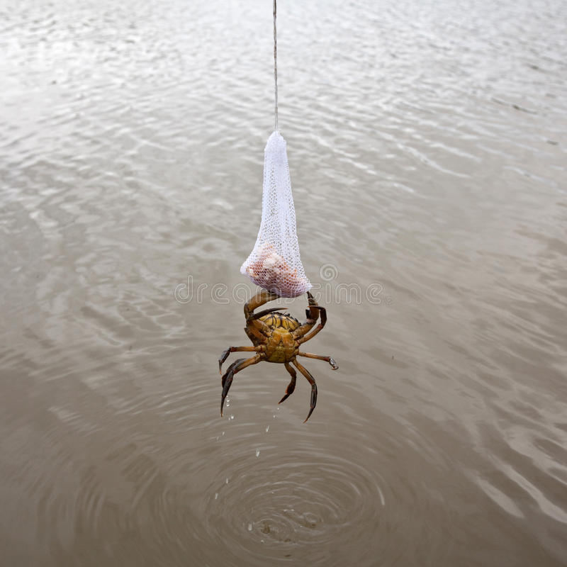 Caranguejo que alimenta no saco de carne fotografia de stock